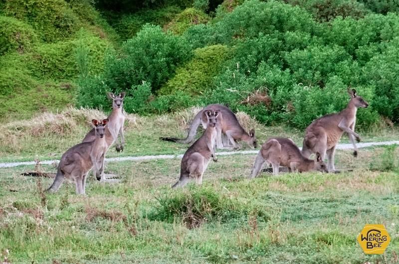 オーストラリアでWWOOF中は野生のカンガルーに出会うのが定番