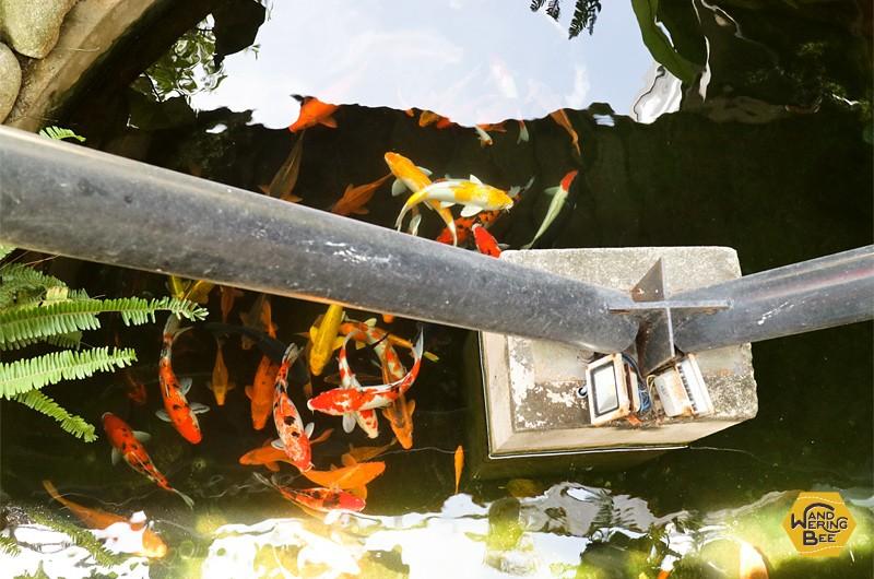 なぜだか懐かしい気持ちになる鯉の池